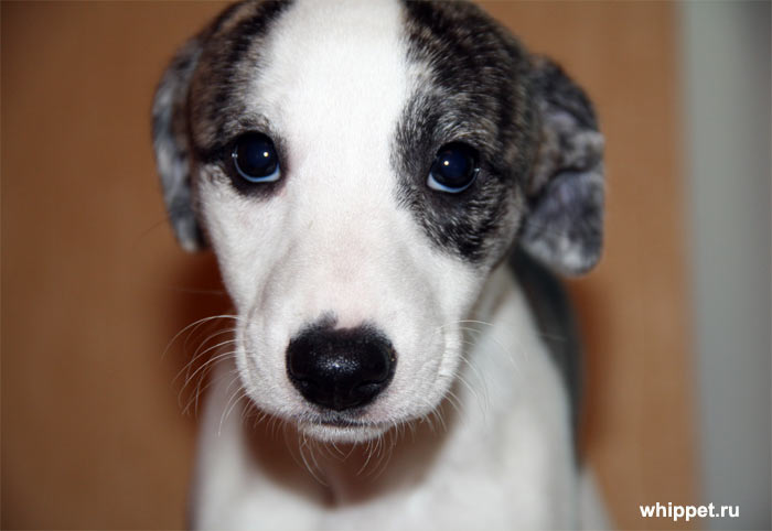 Whippet puppy for sale...